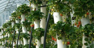 Как производится вертикальная посадка клубники?