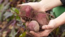Сбор урожая свеклы – как выдержать оптимальные сроки и получить хороший урожай?