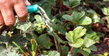 Нужно ли поливать клубнику поздним летом и осенью?
