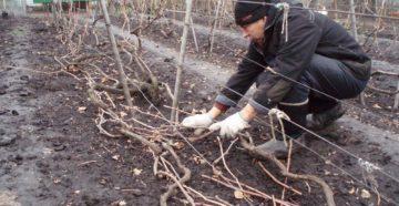 Агроволокно для укрытия винограда и другие материалы – утепляем лозу