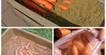 Что такое хранение моркови по всем правилам в домашних условиях?