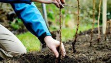 Посадка малины в августе: благоприятные сроки и основные правила