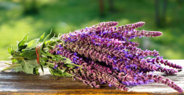 Шалфей лекарственный – лечебные свойства и противопоказания