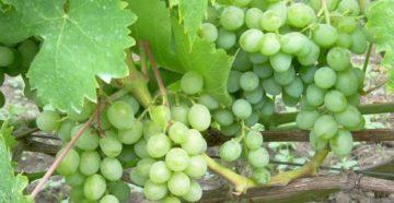 Элегант сверхранний – виноград для больших урожаев на маленьком участке