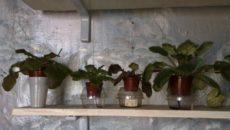 Как поливать фиалки – продлеваем жизнь любимых комнатных цветов