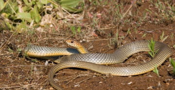 Змеи в саду – методы борьбы со змеями