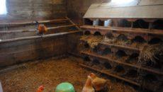 Сарай для кур – заселение пернатых