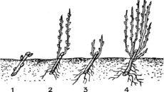 Посадка смородины осенью – не сложное ли испытание для растения?