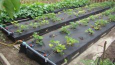 Капельный полив клубники под агроволокном – собираем систему своими руками