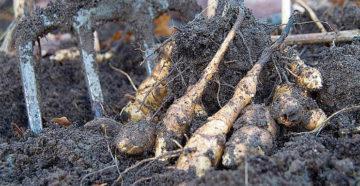 Когда выкапывать топинамбур – в земле груша, можно кушать!