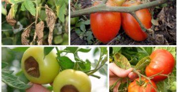 Болезни помидоров и их лечение – от А до Я о заболеваниях томатов