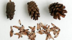 Как вырастить ель из семян: хвойный лес из шишки