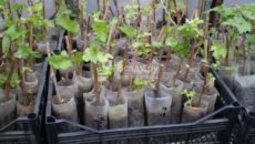 Разведение винограда черенками – создаем питомник для растений