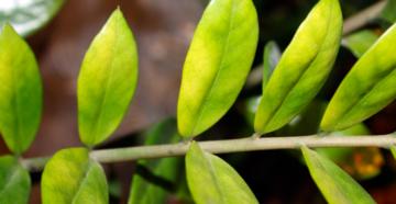 Почему у замиокулькаса желтеют листья: основные причины