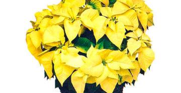 Рождественская звезда — цветок, уход за которым приносит счастье в дом!