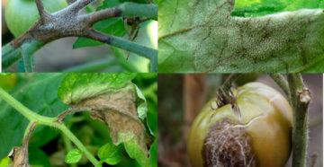 Опасные болезни и вредители томатов: как избавиться и не допустить заражения помидоров