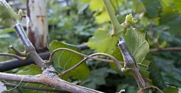 Зимняя прививка винограда – как дать прирост плодоносящим побегам?