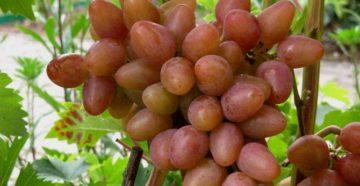 Виноград Алладин – особенности сорта и правила ухода за ним