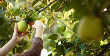 Когда собирать айву – выбираем правильное время для сбора урожая