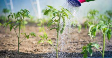 Правильный полив помидор – от начала роста до сбора урожая