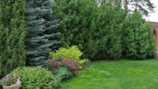 Живая изгородь из ели и сосны – как сделать густое ограждение из хвойных?
