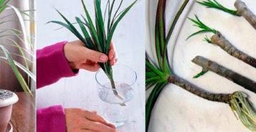 Размножение драцены верхушками и другими способами – сравниваем и практикуем