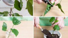 Размножение гибискуса черенками – восточный рубин на подоконнике