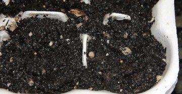 Посадка листового сельдерея на рассаду – как выходить культуру?