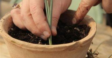 Перистая гвоздика – выращиваем и размножаем!