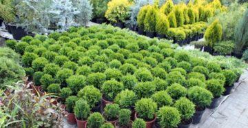 Декоративные хвойные растения как отличный выбор для сада