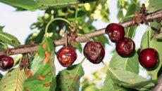 Болезни вишни – устраняем главные угрозы для жизни вишневых деревьев