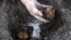 Подкормка картофеля при посадке – чем и когда лучше удобрять картошку?