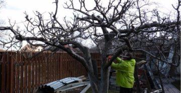 Омолаживающая обрезка деревьев – как вернуть былые урожаи?