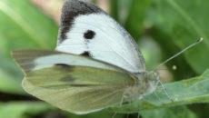 Капустная белянка – борьба с опасным врагом вашего огорода