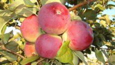 Сорт яблок Орлис и особенности выращивания