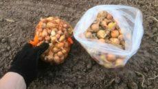 Лук севок – посадка под зиму от вскапывания до урожая