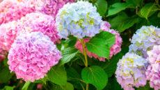 Гортензия цвет
