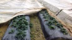 Чем на зиму укрыть клубнику и как это сделать правильно?