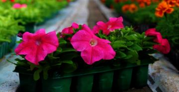 Как вырастить рассаду петунии и получить самые красивые цветы на клумбе?