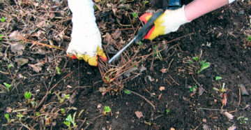 Обрезка клубники на зиму – закладываем урожай