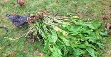 Как вывести хрен с огорода – методы борьбы с растением