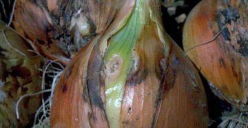 Болезни лука репчатого – спасаем урожай от вирусов и грибков