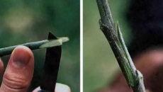Окулировка плодовых деревьев – практические рекомендации