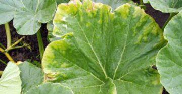 У тыквы желтеют листья: как спасти урожай