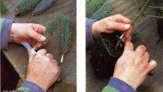 Размножение ели черенками – как сделать лесной уголок на участке?