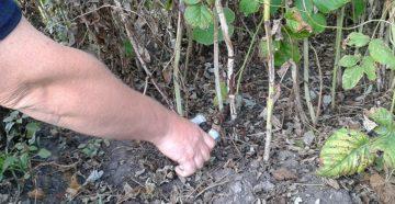 Уход за малиной весной – вкусный урожай в четыре этапа