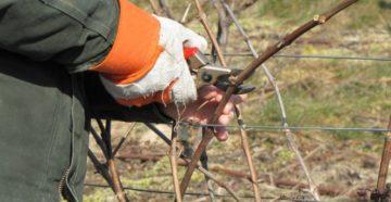 Обрезка винограда осенью или как не дать кустарнику замерзнуть?