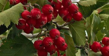 Когда собирать боярышник, и как хранить лекарственное растение?