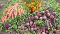 Когда убирать репу для лучшей сохранности урожая?