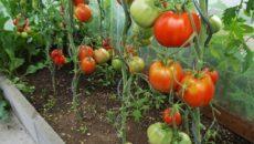 Выращивание помидоров в теплице – как обеспечить богатый урожай томатов?
